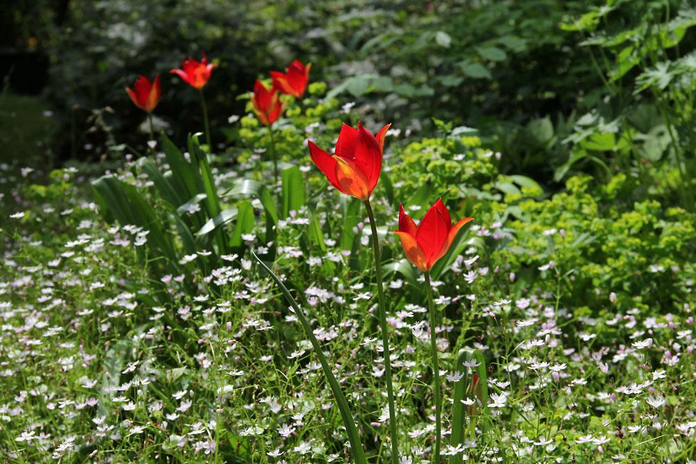 Tulipa-sprengeri-150613(7)