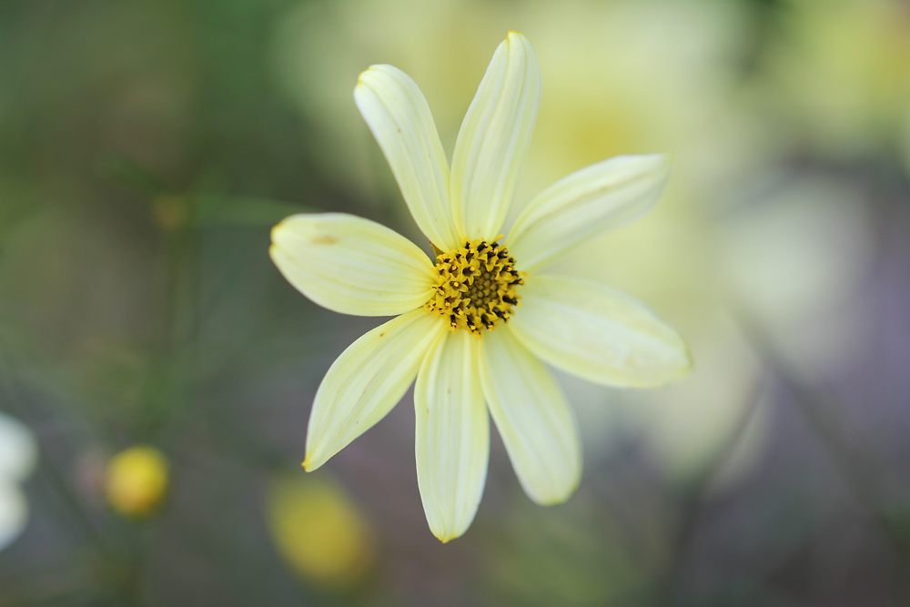 coreopsis-moonbeam-150826a