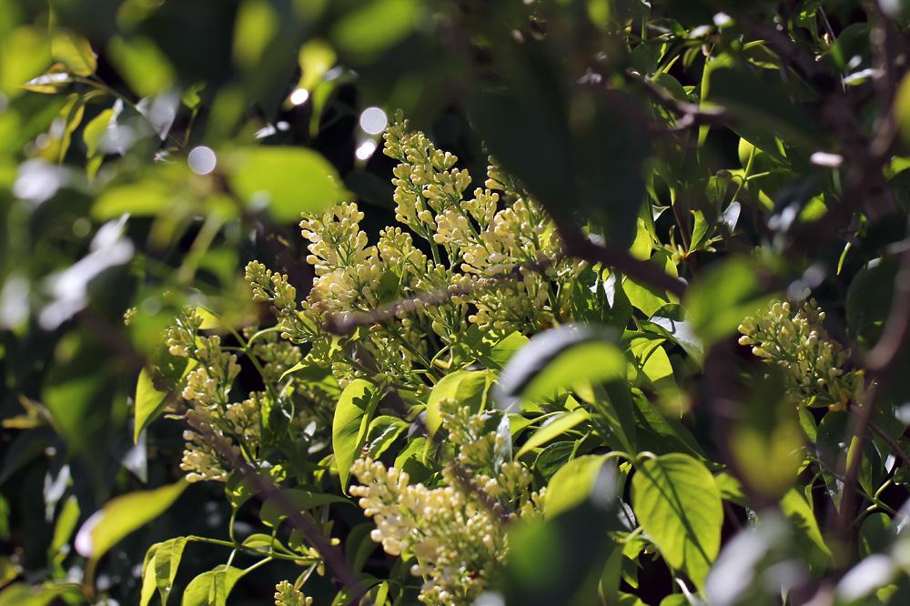 Syringa-vulgaris-Primrose-150526