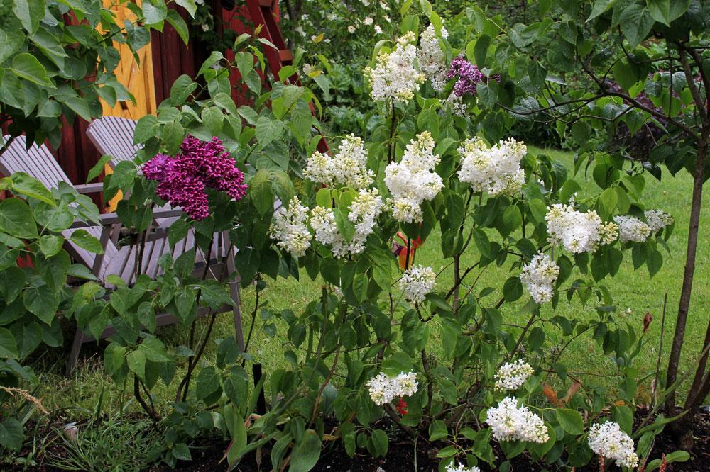 Syringa-vulgaris-Primrose-150606
