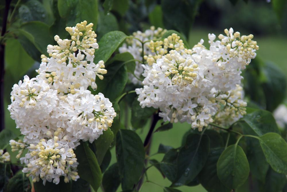 Syringa-vulgaris-Primrose-150606(2)