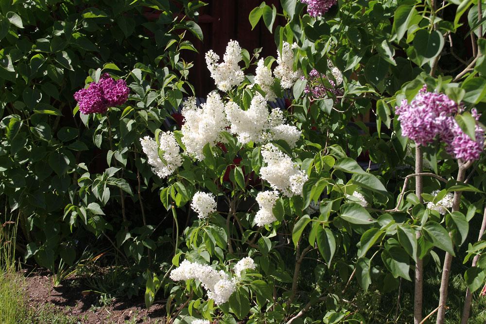 Syringa-vulgaris-Primrose-150611