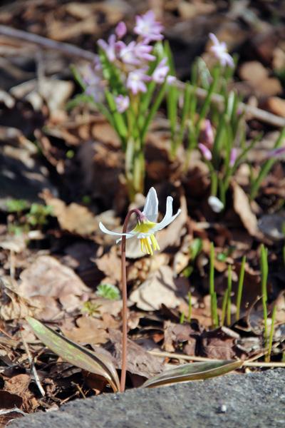 Erythronium-sibiricum-'Altai-Snow'-110414-16