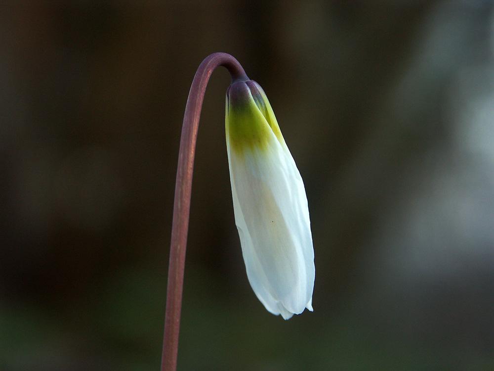 Erythronium-sibiricum-'Altai-Snow'-110414-8