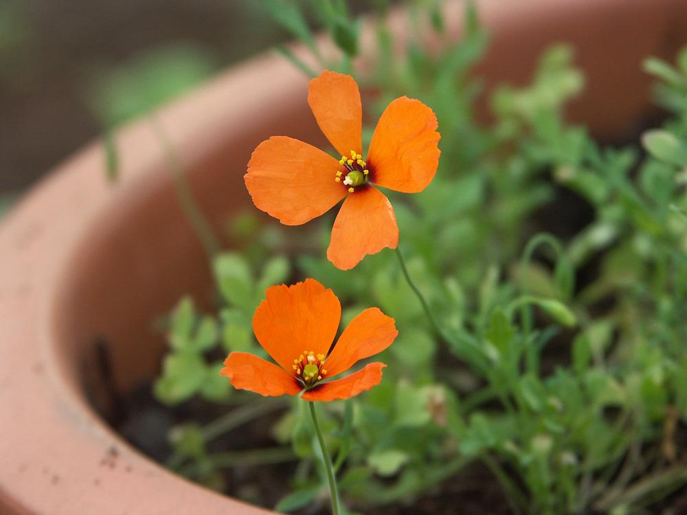 Stylomecon-heterophyllum-100520-(4)