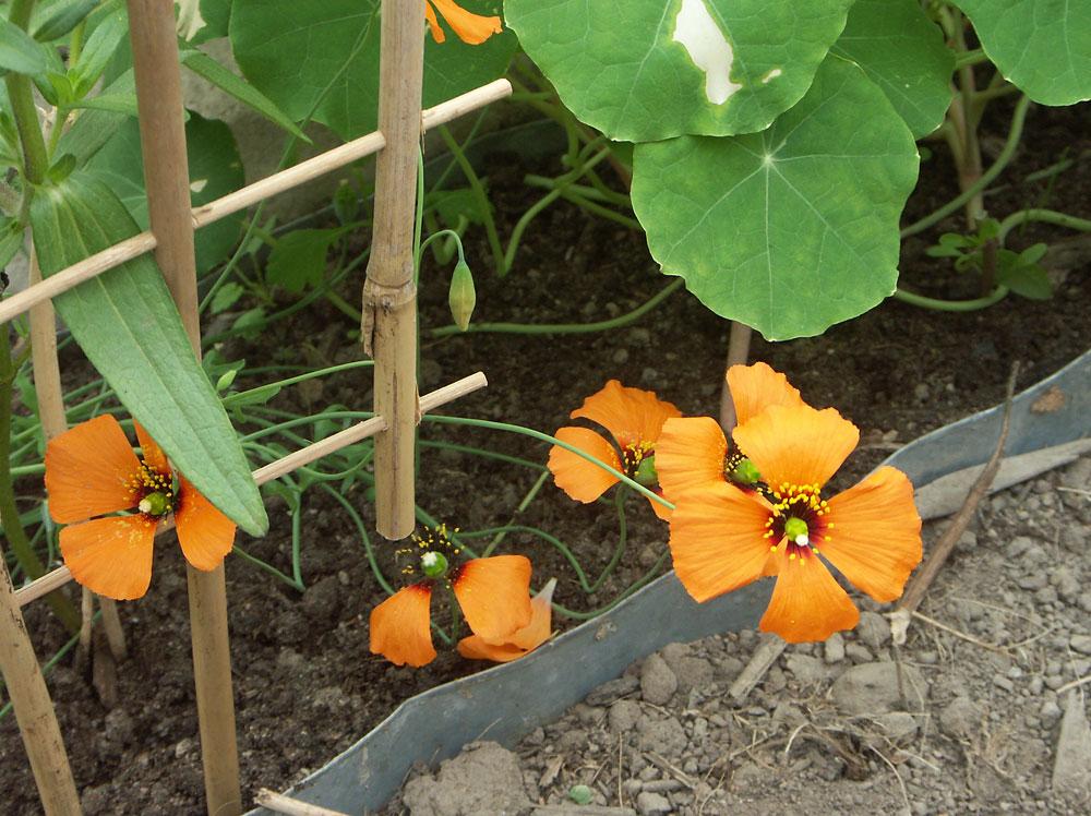 Stylomecon-heterophyllum-100620