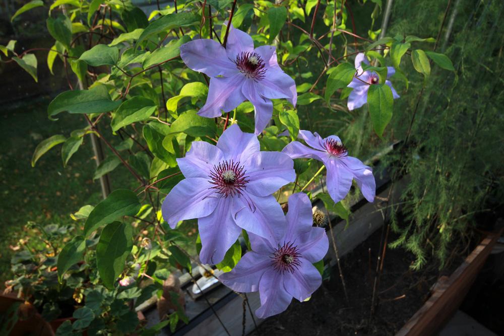 Clematis-Blue-Ravine-150930(3)