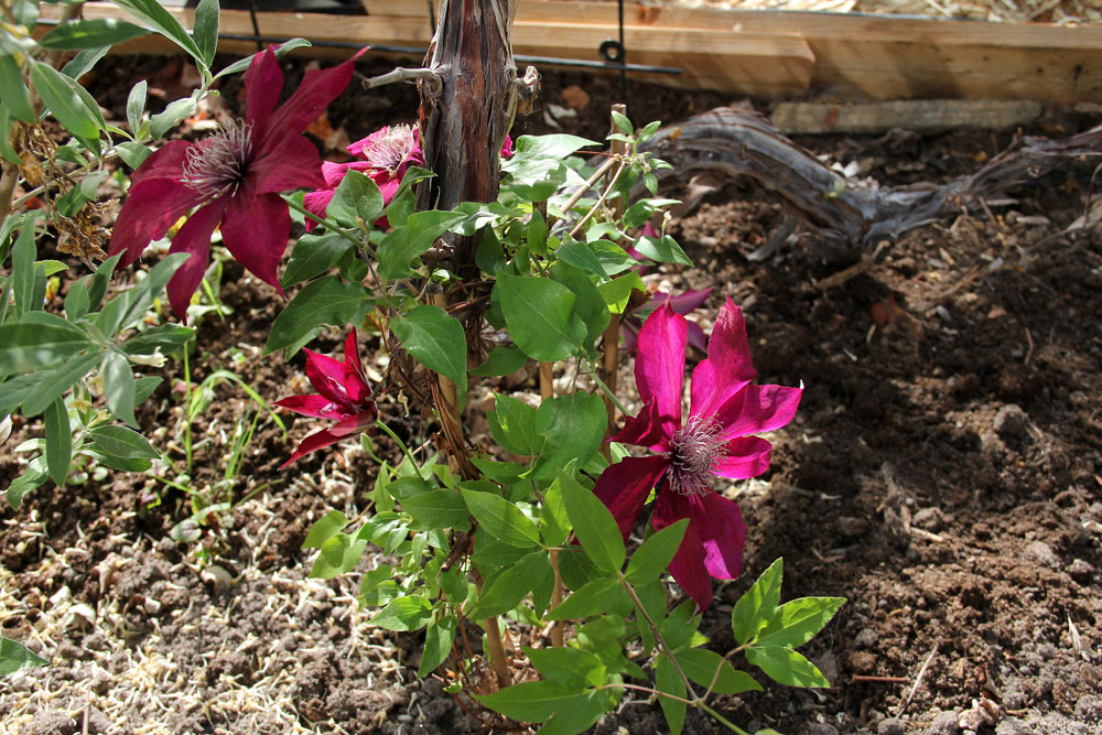 Clematis-Picardy-150525(2)