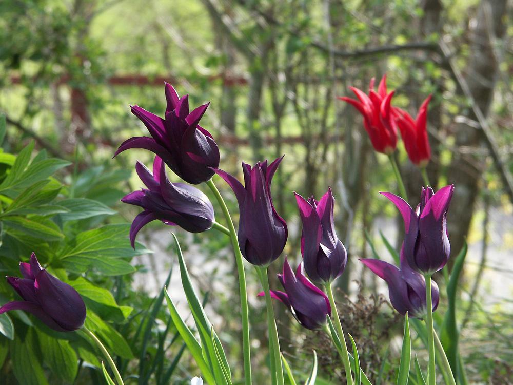 Tulipa-Burgundy-070507