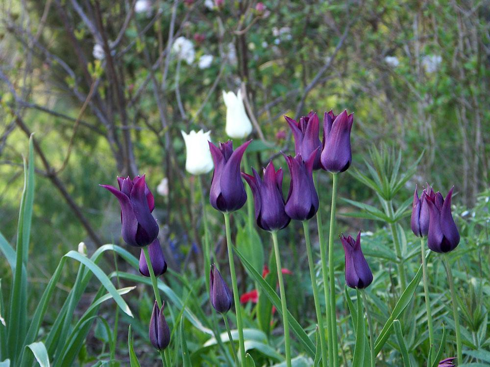 Tulipa-Burgundy-080506
