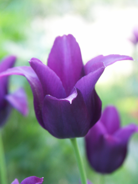 Tulipa-Burgundy-080510-(1)