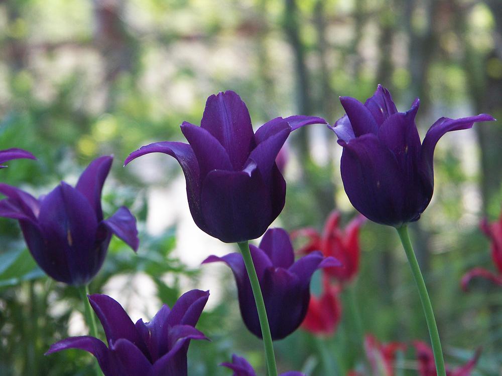 Tulipa-Burgundy-080510