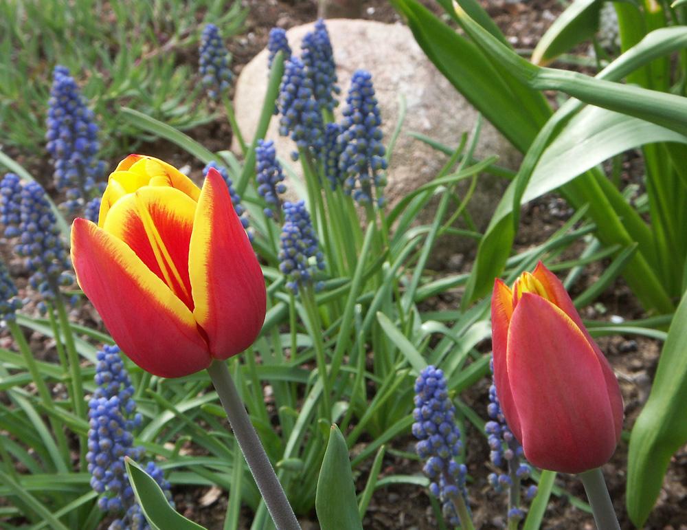Tulipa-Carl-Linnaeus-080506-(1)
