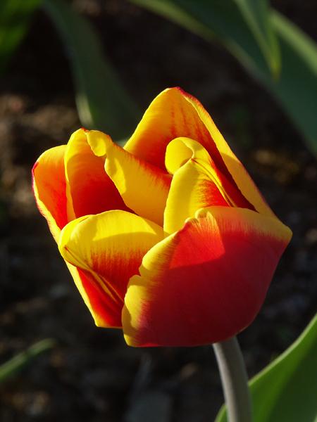 Tulipa-Carl-Linnaeus-080507-(1)