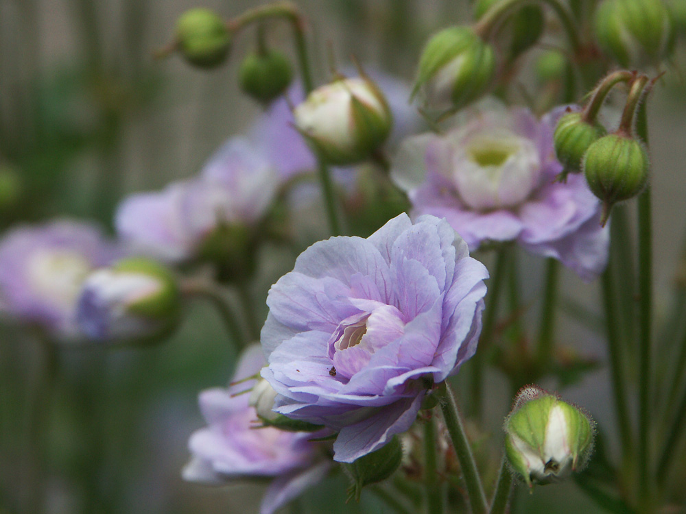 Geranium-pratense-Summer-Skies-070629-a