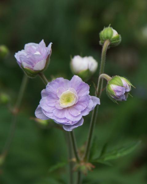Geranium-pratense-Summer-Skies-070629-f