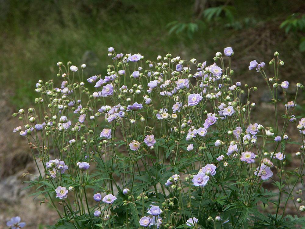 Geranium-pratense-Summer-Skies-070702-a
