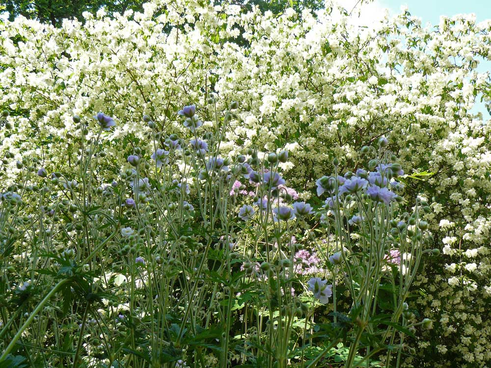 Geranium-pratense-Summer-Skies-090703-(1)