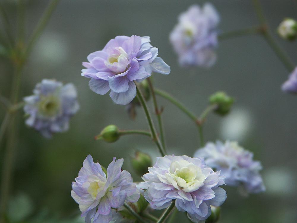 Geranium-pratense-Summer-Skies-100714-(4)