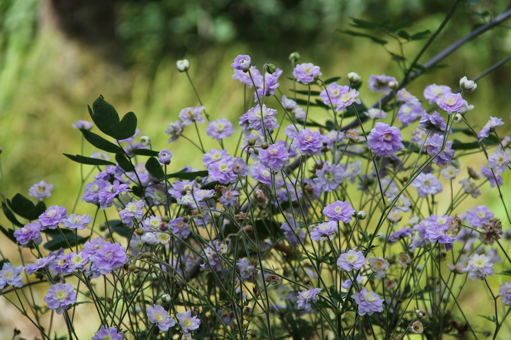 Geranium-pratense-Summer-Skies-120722