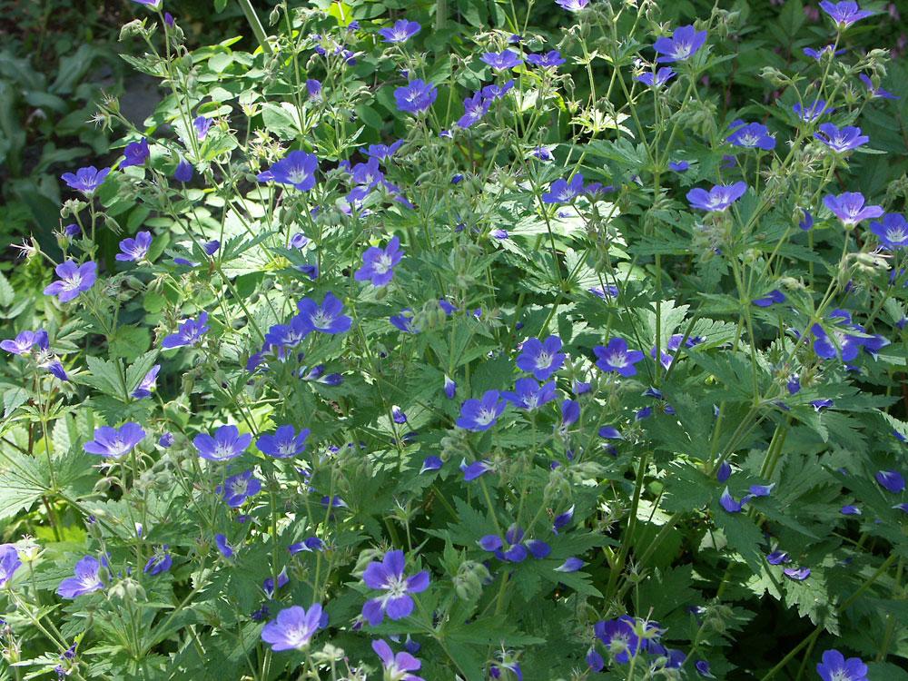 Geranium-sylvaticum-Amy-Doncaster-060611
