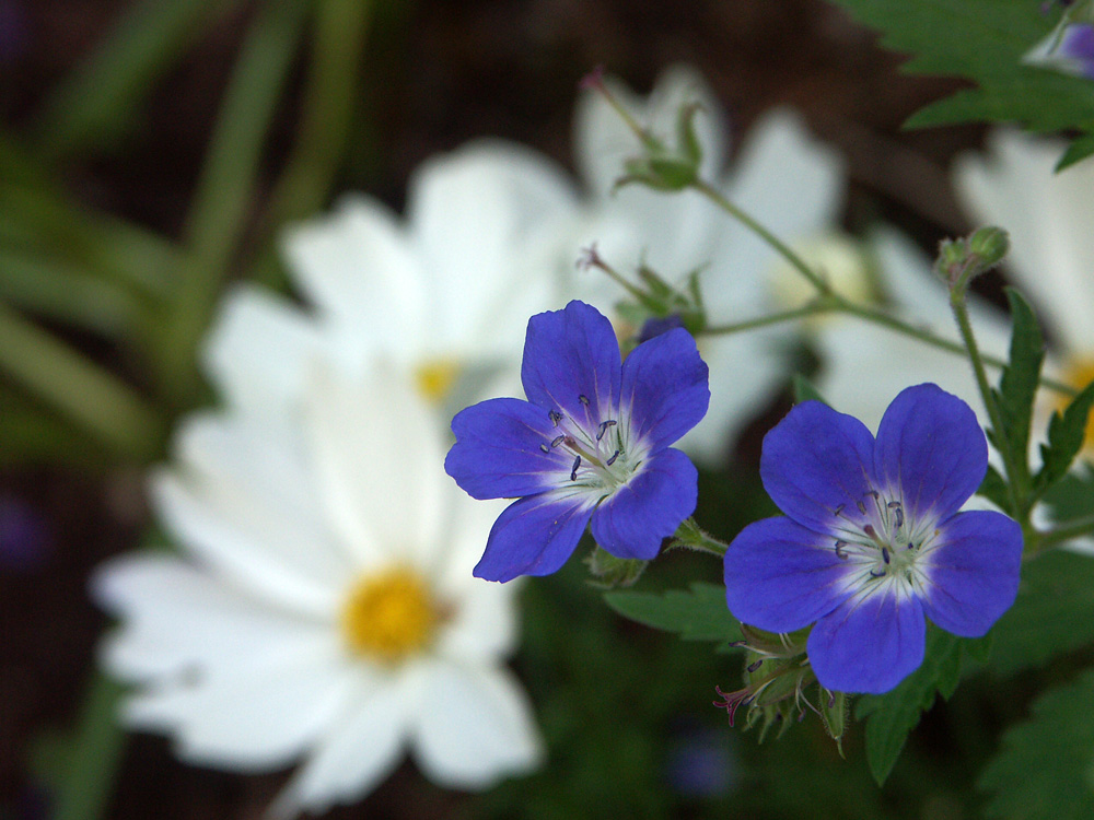 Geranium-sylvaticum-Amy-Doncaster-070606-c
