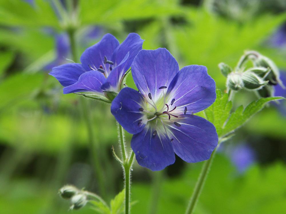 Geranium-sylvaticum-Amy-Doncaster-110602(3)