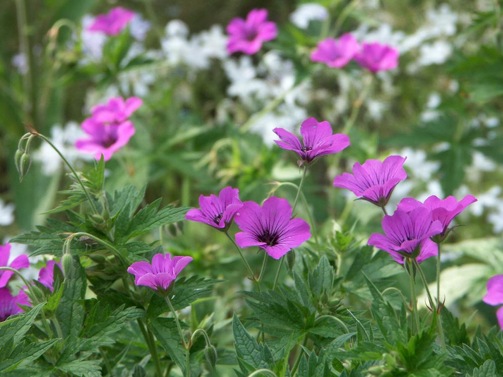 Geranium--x-Patricia-070609-d