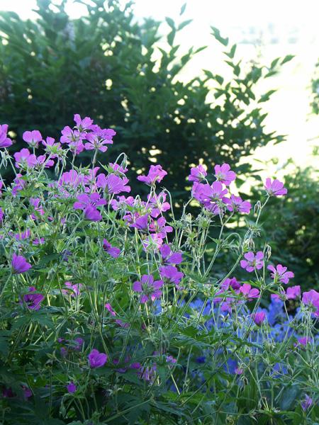 Geranium--x-Patricia-070619-b