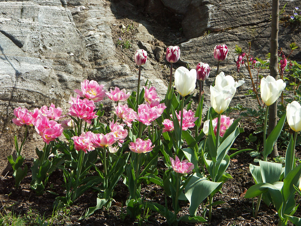 Tulipa-080504