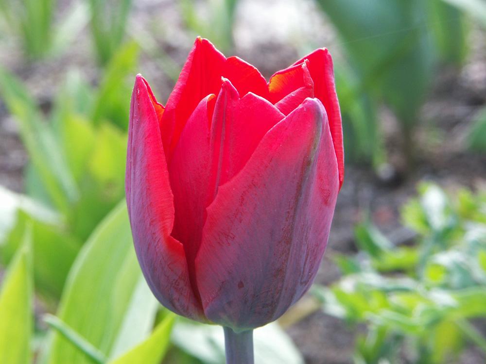 Tulipa-Couleur-Cardinal-050513a