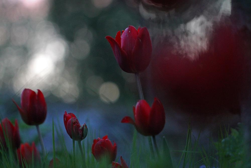 Tulipa-Couleur-Cardinal-120521(1)