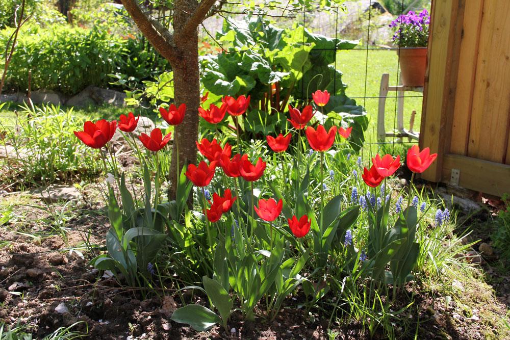 Tulipa-Couleur-Cardinal-130526(3)