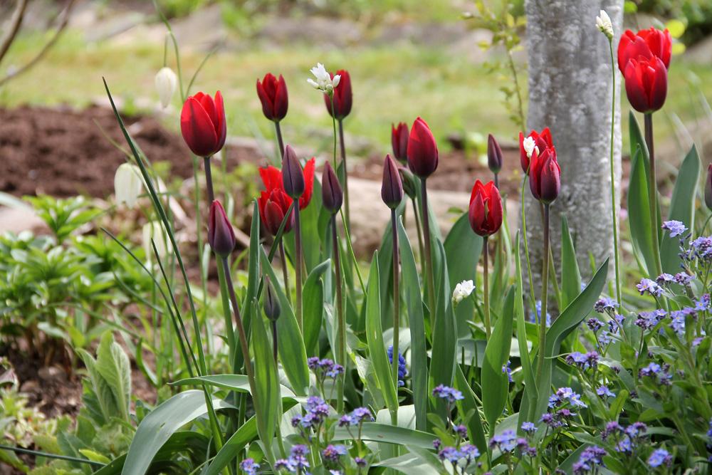 Tulipa-Couleur-Cardinal-140503