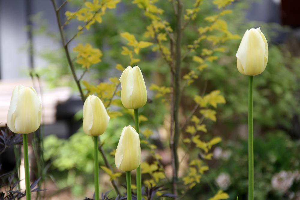 Tulipa-Maureen-150521(2)