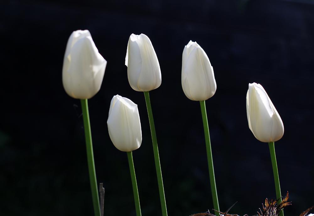 Tulipa-Maureen-150526(2)