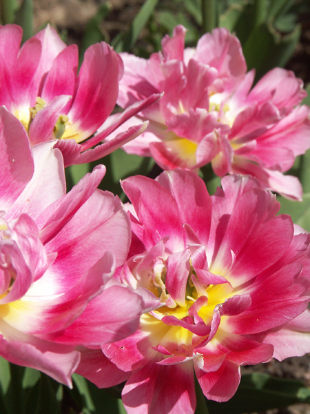 Tulipa-Peach-Blossom-080509