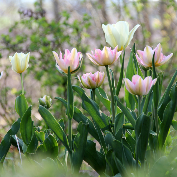 Tulipa-Peach-Blossom-130516(1)