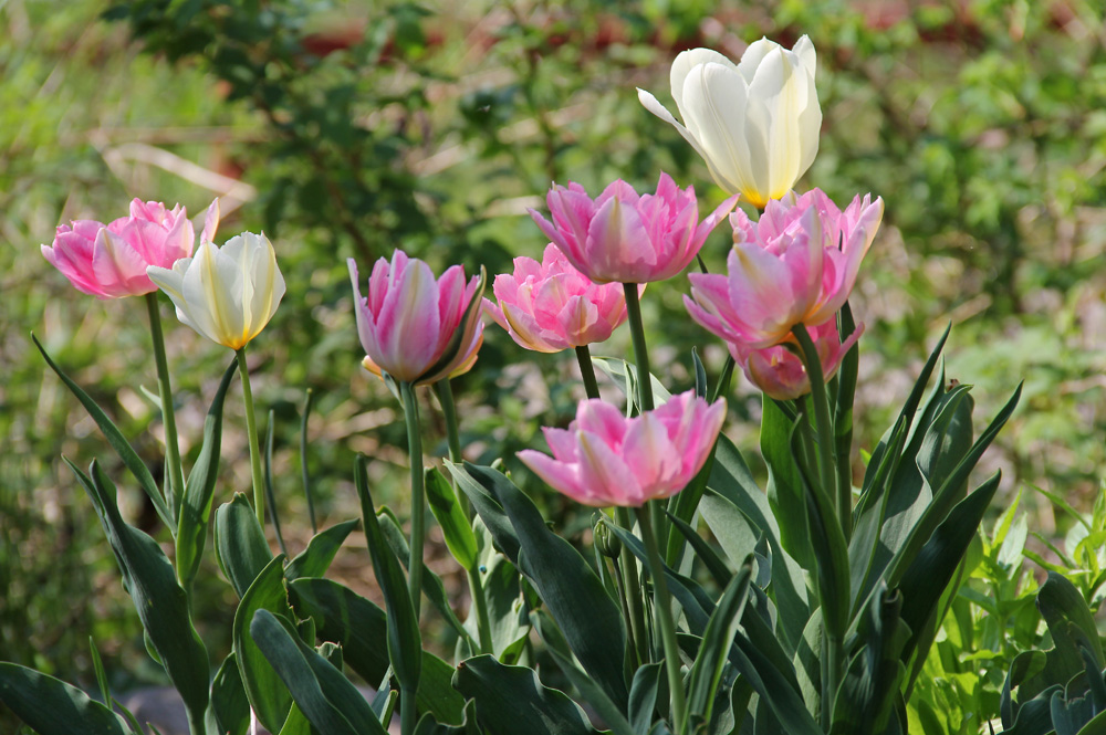 Tulipa-Peach-Blossom-130518(2)