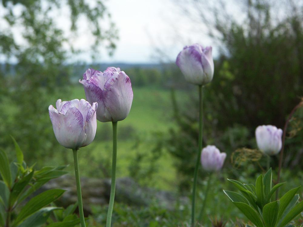Tulipa-Shirley-060527-a