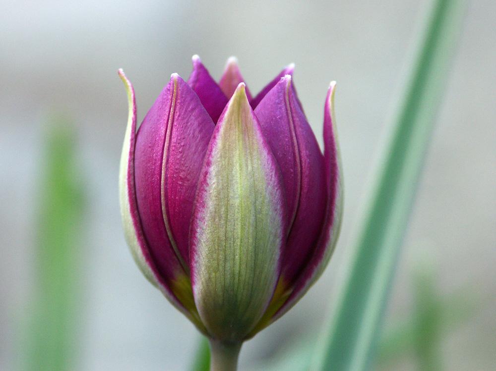 Tulipa-humilis-Persian-Pearl-040418