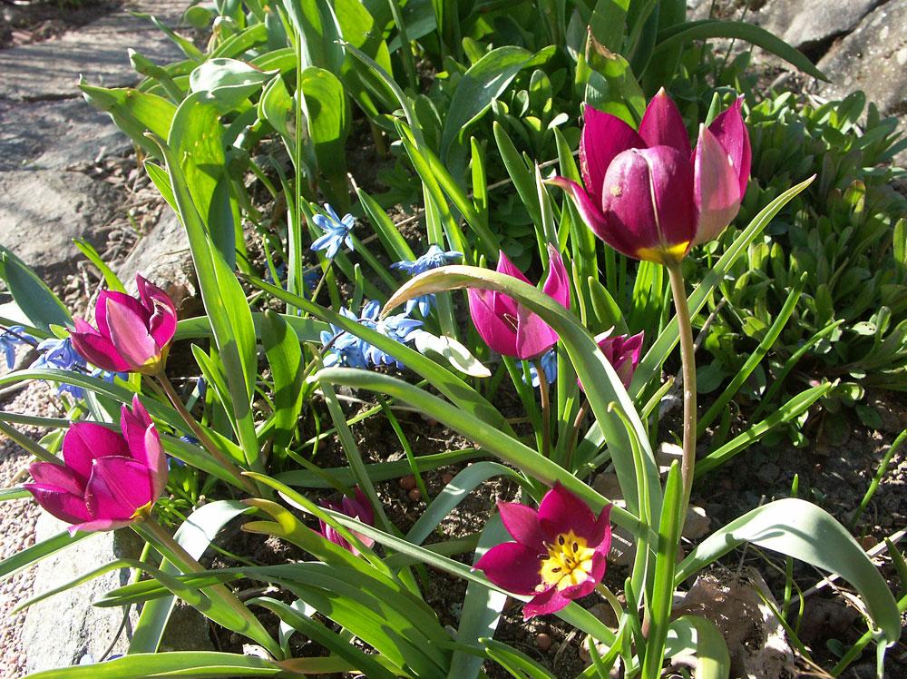 Tulipa-humilis-Persian-Pearl-050422