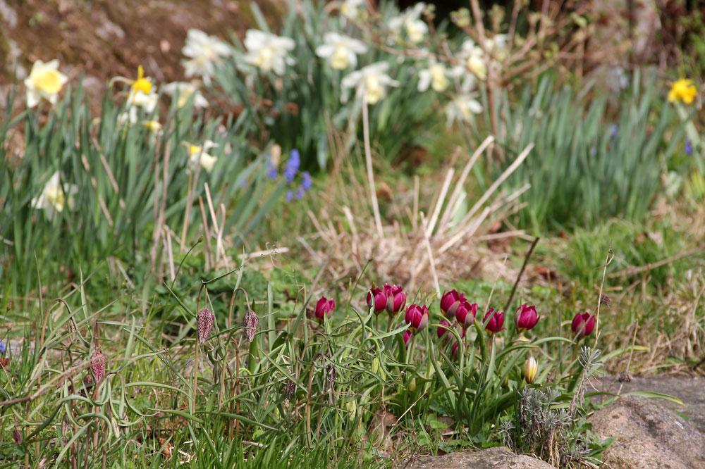 Tulipa-humilis-Persian-Pearl-140416