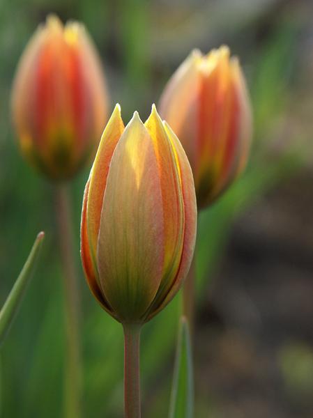 Tulipa-orphanidea-Whittallii-080504-(3)