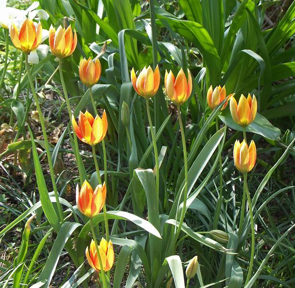 Tulipa-orphanidea-Whittallii-080509