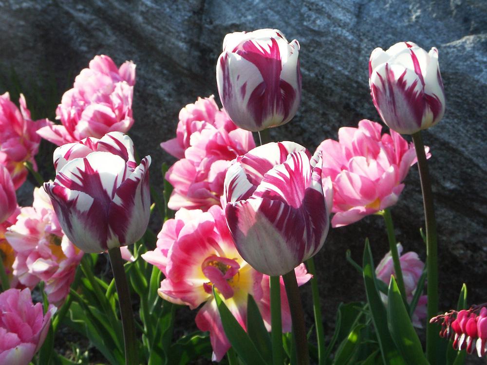 Tulipa-Zurel-080507
