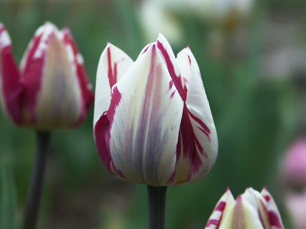 Tulipa-Zurel-090428-(1)