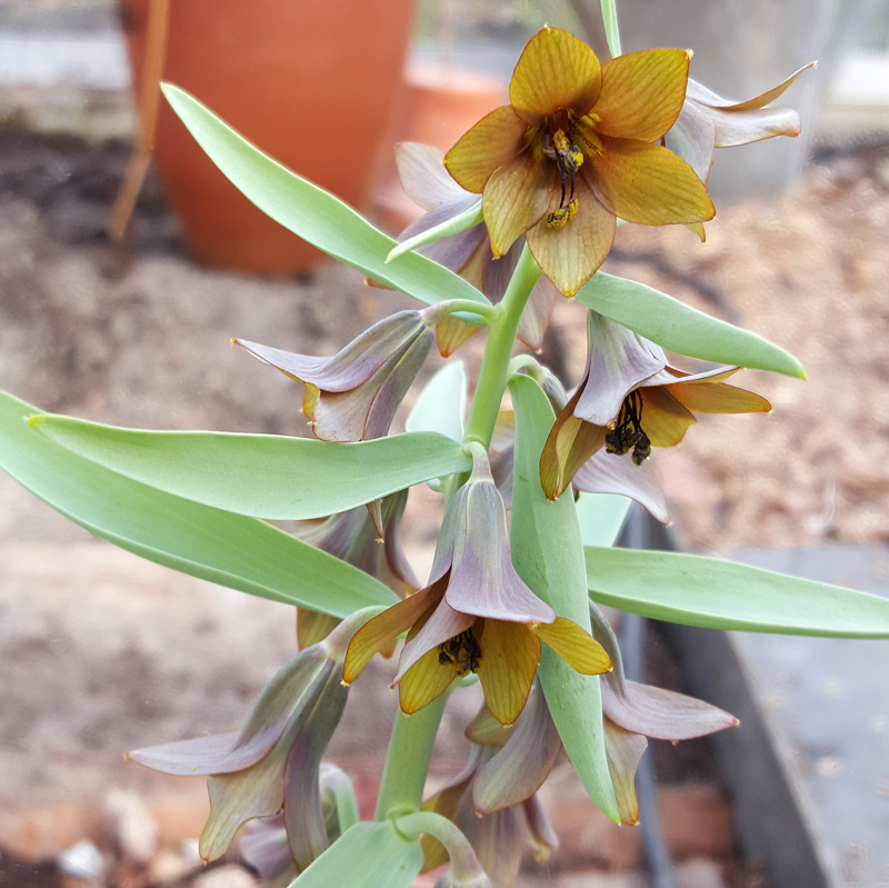 fritillaria-sewerzowii-brown-eyes-1604102