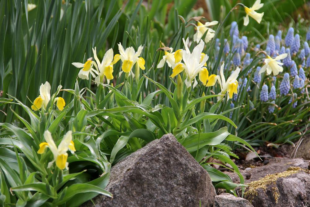 iris-bucharica-1504251