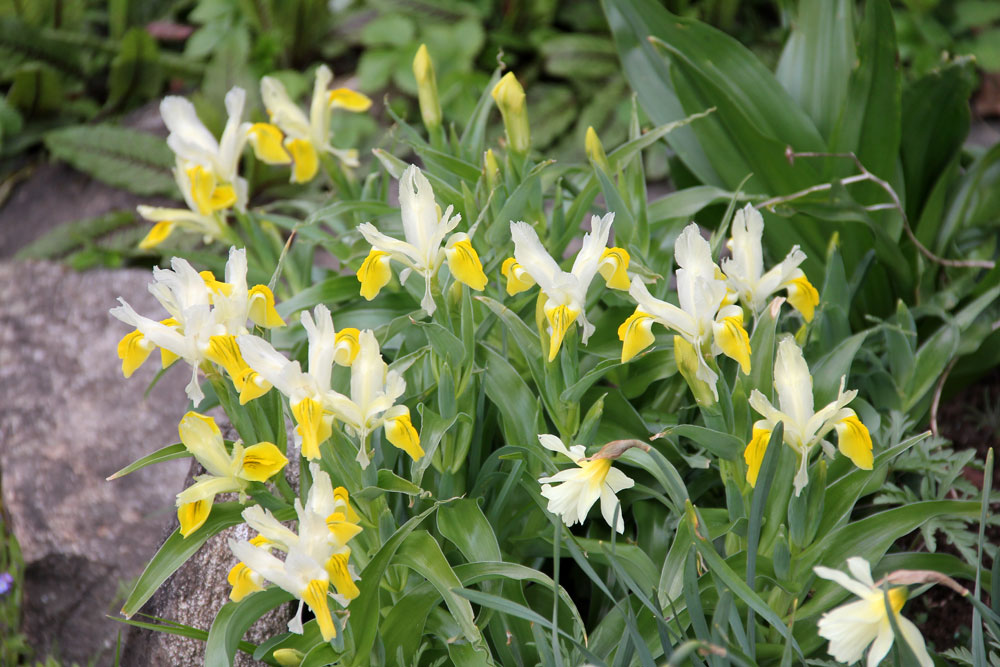 iris-bucharica-150427